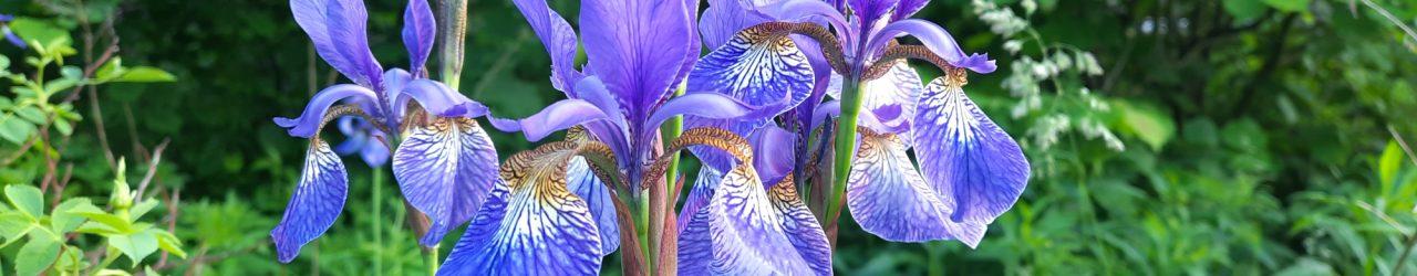 Iris im Garten von Meyer's Hof